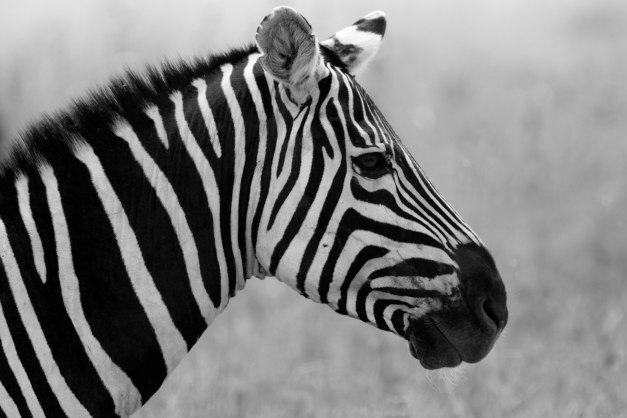 Serengeti zebra in black and white by DC Loew