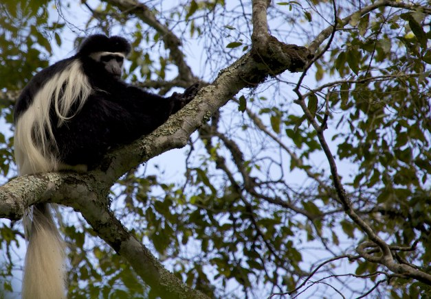 Colobus monkey, Arusha NP, by DC Loew