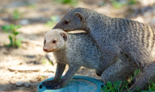 Cuddling mongoose by DC Loew