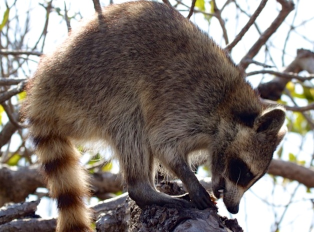 Florida Racoon by DC Loew