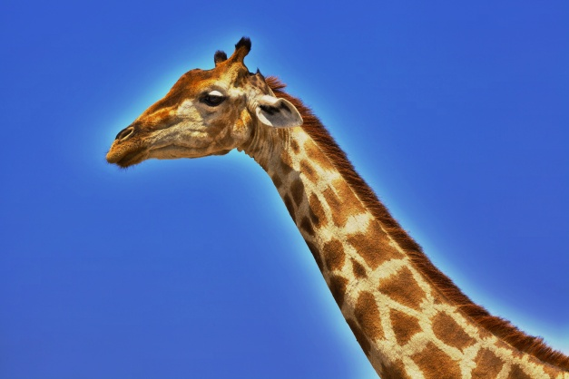 HDR Giraffe by safari-photographer.com