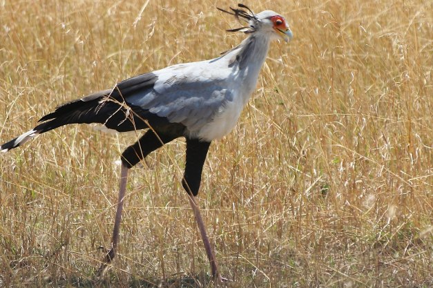 Secretary bird by DC Loew safari-photographer.com