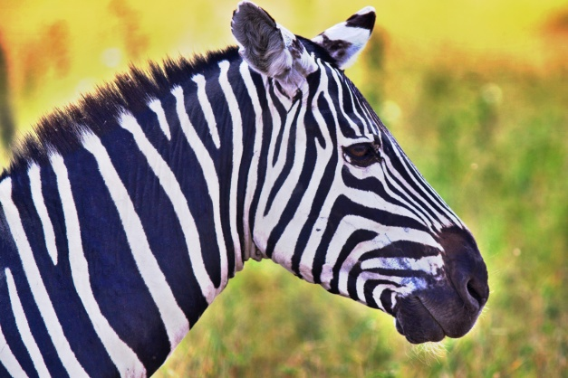 HDR Zebra by safari-photographer.com